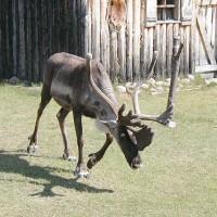 加拿大「易危」馴鹿 15年後物種數擬下降30%