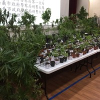 Largest marijuana field in 20 yearsbusted in central Taiwan