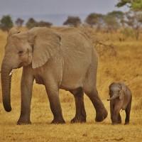 研究:長期生活在創傷壓力下的野生大象 平均壽命少5年