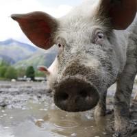 中國再爆非洲豬瘟 疫情從東北蔓延到江蘇