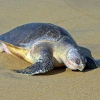 墨西哥南部海灘 122瀕危海龜疑遭集體謀殺!