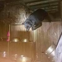 黑熊第4次闖入22日起封閉嘉明湖國家步道