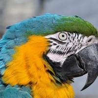 法研究團隊首次發現 會臉紅的鸚鵡