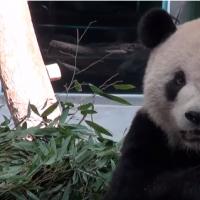 Taipei Zoo creates video to celebrate birthdays of panda pair