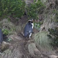 毛利企鵝每年冬泳何處?國際研究團隊揭謎