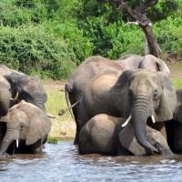 非洲南部90隻大象遭槍殺 疑似爲了取象牙