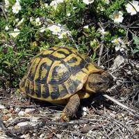 法國科西嘉島 56隻保育赫曼陸龜遭盜