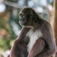 哥倫比亞動物園 迎接極危「棕蜘蛛猴」的加入