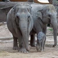泰國大象失足 跌進下水道意外電死
