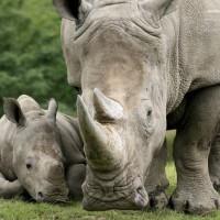 法國動物園誕生 瀕危雄性白犀牛寶寶