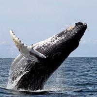 商業捕鯨提案遭否決 日本欲退出國際捕鯨委員會