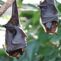 宜蘭蝙蝠檢出「麗沙病毒」 籲民眾勿自行接觸野生動物
