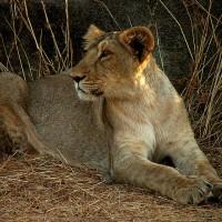 印度15隻瀕危亞洲獅疑似非自然死亡 當局展開調查