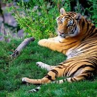 尼國瀕危孟加拉虎攀升到235隻 美巨星李奧納多亦有功