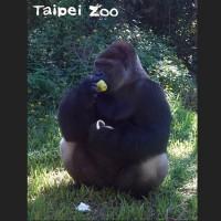 當波蘭黑猩猩~~遇到台灣柚子