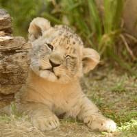 大突破!南非保育中心首度 迎接「試管幼獅」誕生