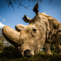 WildAid Report Shows Dramatic Decline in Rhino Horn Prices