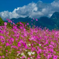 Cosmos in bloom at central Taiwan's Fushoushan and Wuling farms