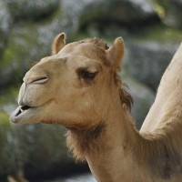 Camel bites man in neck at Taipei Zoo