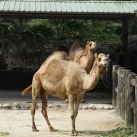 首例!台北市立動物園驚傳 保育員遭駱駝咬傷