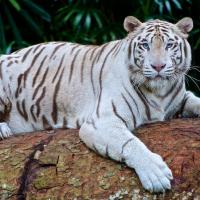 日鹿兒島動物園悲劇 飼養員遭孟加拉白虎咬死