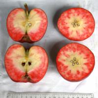 這真的不是番茄嗎?