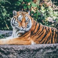 動保團體呼籲歐盟向非法老虎交易說「不」