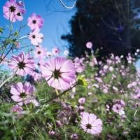 【少女的純情】「大波斯菊」正逢盛開期 推薦10個賞花的好地方