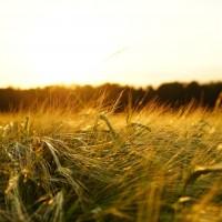 全球暖化問題不解決 恐影響大麥收成啤酒變貴