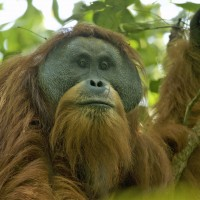 "China-backed hydropower dam ""death knell"" for rare orangutan species in Indonesia"