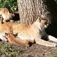行動保密只為救瀕危大山貓 母子均安重返法國侏羅山