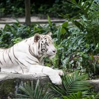 研究證實 生活在亞洲大陸的老虎有6種