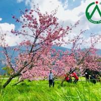 迎接武陵農場櫻花季 11月1日開放訂房