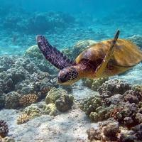 生活在緬甸的海龜 各方威脅影響其存續