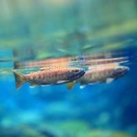 國寶魚「台灣櫻花鉤吻鮭」25年保育有成 放流3千尾史上最多