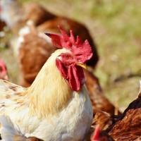 H7N9禽流感病毒變異 可透過飛沫傳染