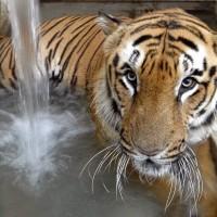 印度短短數日 二隻瀕危老虎接連遭村民殺害