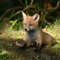 義研究人員:狐狸冬天會捕食小貓