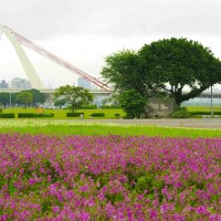 Flowers in full bloom at Dajia Riverside Park in Taipei