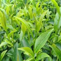 台灣新茶種:「永康野生山茶」 擁有學術與保育雙重價值