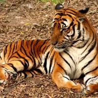 新法激怒動保團體!中國「研究後推遲」犀牛與老虎及其製品的「特殊」進口