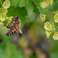 揭開蜜蜂消失之謎 科學家求助人工智慧