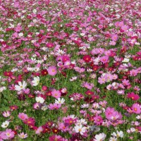 Sea of Flowers in Xinshe, central Taiwan