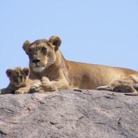 巴黎「世界最美的大道」 法警在藍寶堅尼上查獲瀕危幼獅
