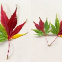 Photo of the Day: 'Tri-colored maple leaves' in Japan