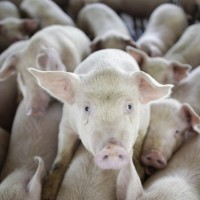 Taiwan halts pork imports from Japan amid fears of classical swine fever
