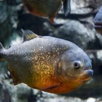 悲傷的驚喜  亞馬遜魚類慘遭塑膠汙染