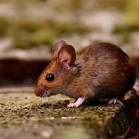 旅港國人當心!香港再現老鼠傳染人類戊型肝炎個案