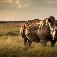 Bonhams Should Take Rhino Horn Off the Auction Block