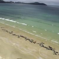 怵目驚心! 紐西蘭海灘145頭鯨魚集體擱淺